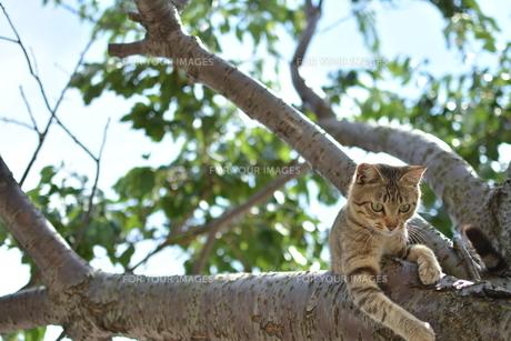木の上のねこの写真素材 [FYI01166553]