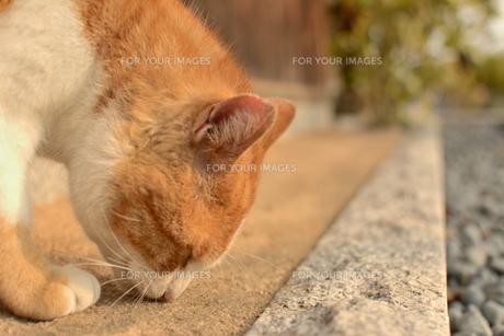 地面のにおいをかぐ猫の写真素材 [FYI01166557]