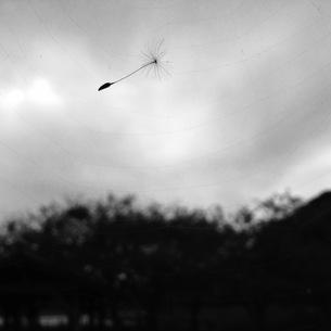 蜘蛛の巣にかかるタンポポの種の写真素材 [FYI01166711]