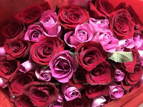 薔薇の花束の写真素材 [FYI01166945]