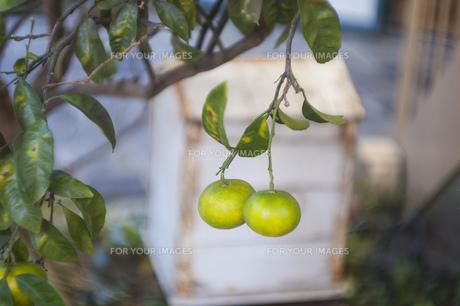 柑橘系の実の写真素材 [FYI01166995]