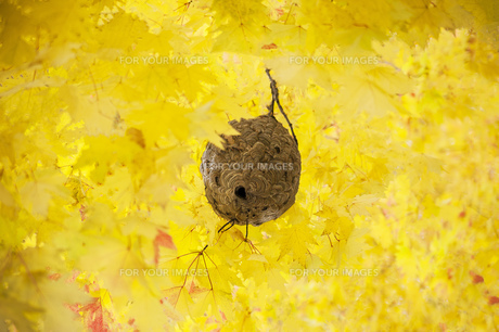 黄葉の中の蜂の巣の写真素材 [FYI01167162]