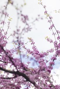 植物素材 背景ハイキー ピンク 木 花 海外写真の写真素材 [FYI01167312]