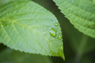 水滴のついた葉 植物 植物素材 梅雨 水滴 葉 マクロの写真素材 [FYI01167387]