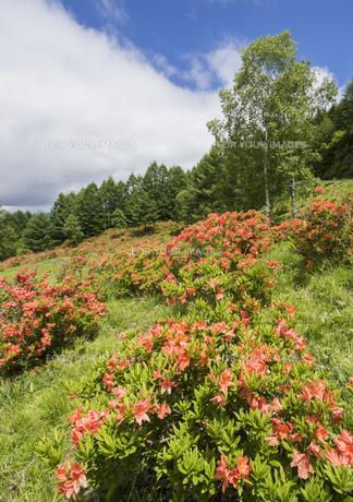 美ヶ原のレンゲツツジの写真素材 [FYI01167430]