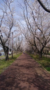 日本の春  桜  花道  池  桜ロード  空  公園  ①の写真素材 [FYI01167518]