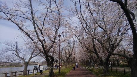 日本の春  桜  花道  池  桜ロード  空  公園  ②の写真素材 [FYI01167519]