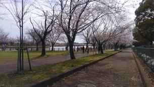 日本の春  桜  花道  池  桜ロード  空  公園  ③の写真素材 [FYI01167520]