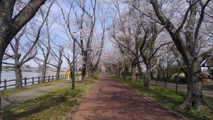 日本の春  桜  花道  池  桜ロード  空  公園  ④の写真素材 [FYI01167521]