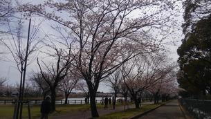 日本の春  桜  花道  池  桜ロード  空  公園  ⑤の写真素材 [FYI01167523]