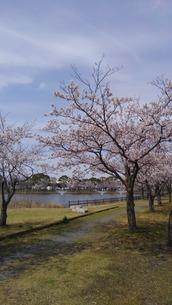 日本の春  桜  花道  池  桜ロード  空  公園  ⑥の写真素材 [FYI01167549]