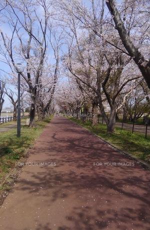 日本の春  桜  花道  池  桜ロード  空  公園  ⑦の写真素材 [FYI01167550]
