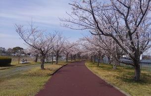日本の春  桜  花道  池  桜ロード  空  公園  ⑧の写真素材 [FYI01167552]