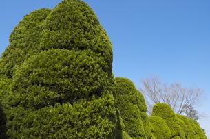 常緑樹の庭木カイヅカイブキの写真素材 [FYI01167695]