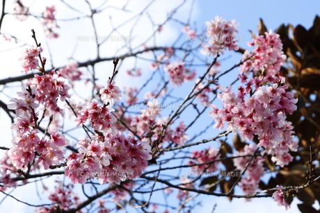 桜の写真素材 [FYI01168057]