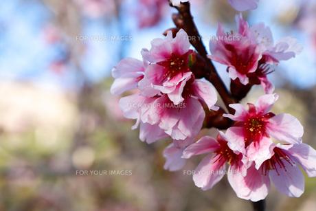 桜の写真素材 [FYI01168058]