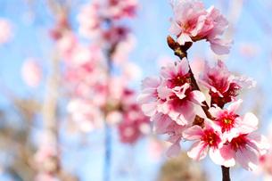 桜の写真素材 [FYI01168059]