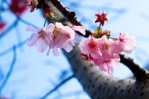 桜の写真素材 [FYI01168060]