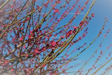 大阪城公園 梅林4の写真素材 [FYI01168061]