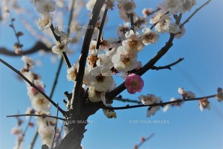 大阪城公園 梅林3の写真素材 [FYI01168062]