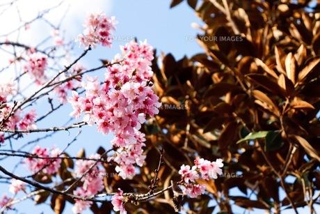 桜の写真素材 [FYI01168064]
