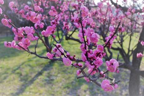大阪城公園 梅林2の写真素材 [FYI01168066]