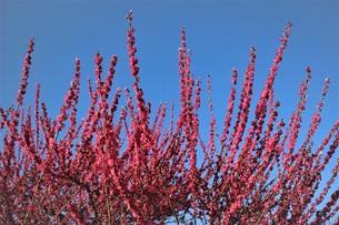 大阪城公園 梅林1の写真素材 [FYI01168067]