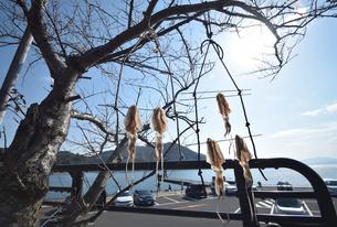 京都伊根湾の干し烏賊の写真素材 [FYI01168071]