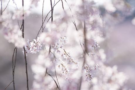 枝垂れ桜の写真素材 [FYI01168110]