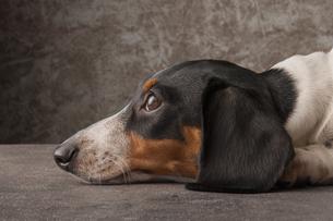 瞑想する犬の写真素材 [FYI01168176]