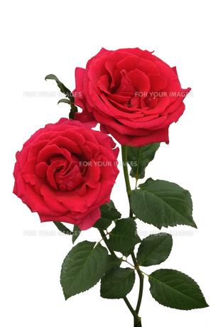 白バック薔薇の写真素材 [FYI01168178]