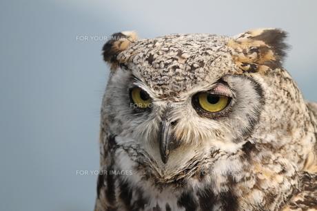 フクロウの眼差しの写真素材 [FYI01168292]