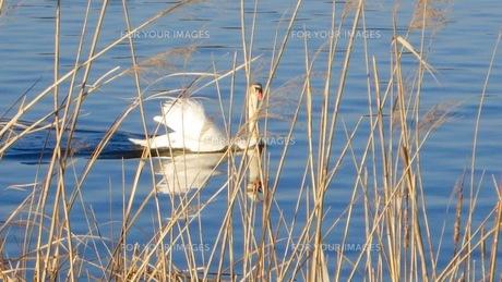 白鳥の写真素材 [FYI01168342]