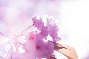 桜と光の写真素材 [FYI01168389]