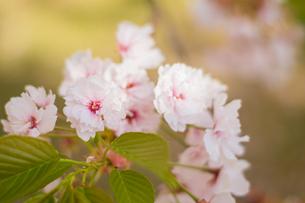 桜〜ふんわり〜の写真素材 [FYI01168390]
