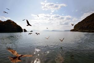 京都府伊根湾のトビの写真素材 [FYI01168491]