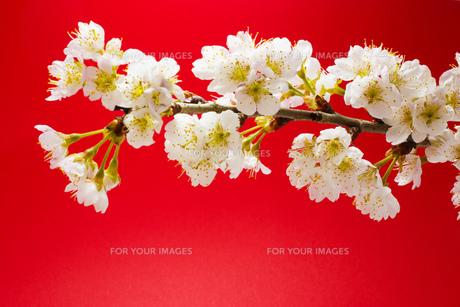 赤背景の桜の写真素材 [FYI01168633]
