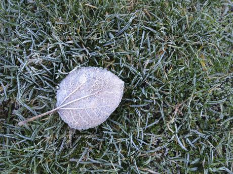 自然 自然素材 葉 落ち葉 芝生 凍結 霜 冬景色 葉脈 海外写真の写真素材 [FYI01168652]