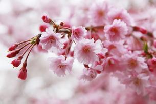 海津大崎の桜の写真素材 [FYI01168654]