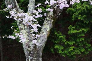 海津大崎の桜の写真素材 [FYI01168655]