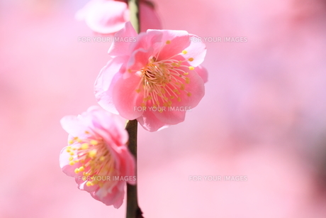 しだれ梅の写真素材 [FYI01168661]