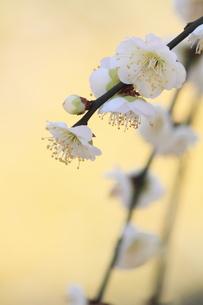 しだれ梅の写真素材 [FYI01168662]
