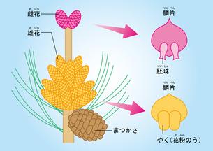 裸子植物 松 図のイラスト素材 [FYI01168718]