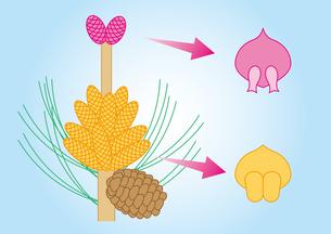 裸子植物 松 図のイラスト素材 [FYI01168720]