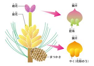 裸子植物 松 図のイラスト素材 [FYI01168721]