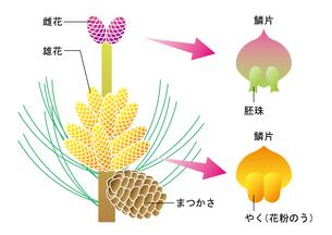 裸子植物 松 図のイラスト素材 [FYI01168722]