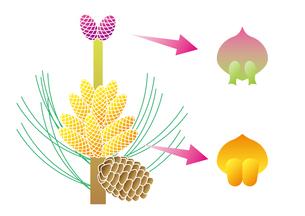 裸子植物 松 図のイラスト素材 [FYI01168723]