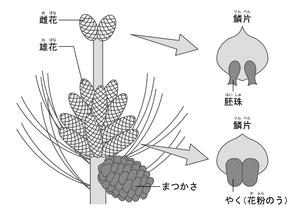 裸子植物 松 図のイラスト素材 [FYI01168724]