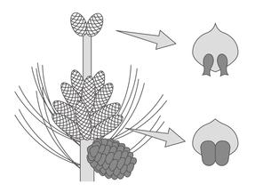 裸子植物 松 図のイラスト素材 [FYI01168726]