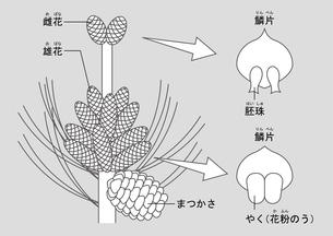 裸子植物 松 図のイラスト素材 [FYI01168727]
